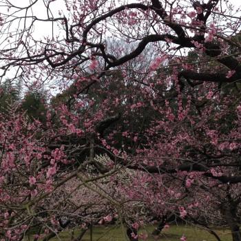 後楽園の梅の花