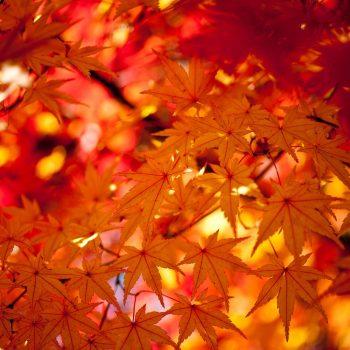 頭上に広がる紅葉の雨